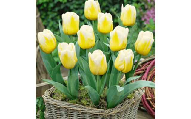 Тюльпани низкорослые