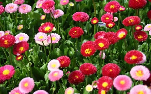 Многолетние и двулетние  цветы