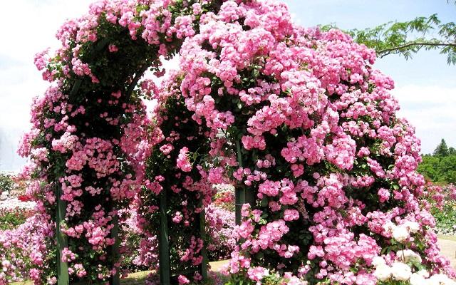 Плетистые розы (саженцы сортовые)