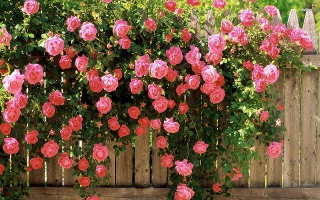Полиантовые розы (саженцы)
