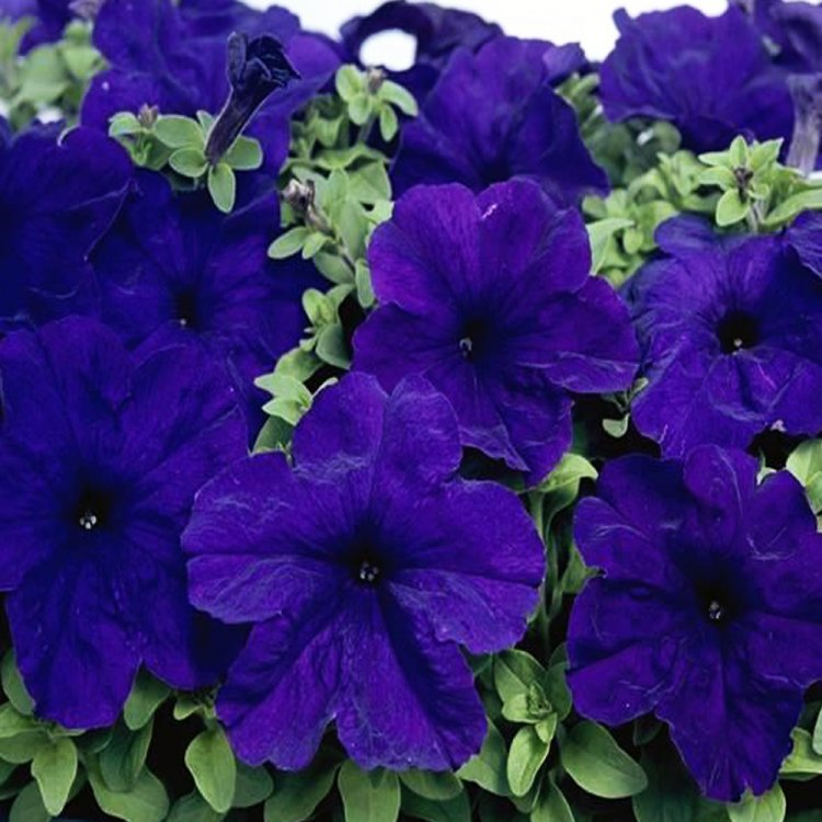 Петуния Игл Насыщенно-Синяя, семена цветов, Legutko, Польша.