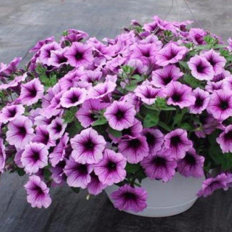 Петуния Крупноцветковая Игл Сливовая с Прожилками,  семена цветов, Legutko, Польша.
