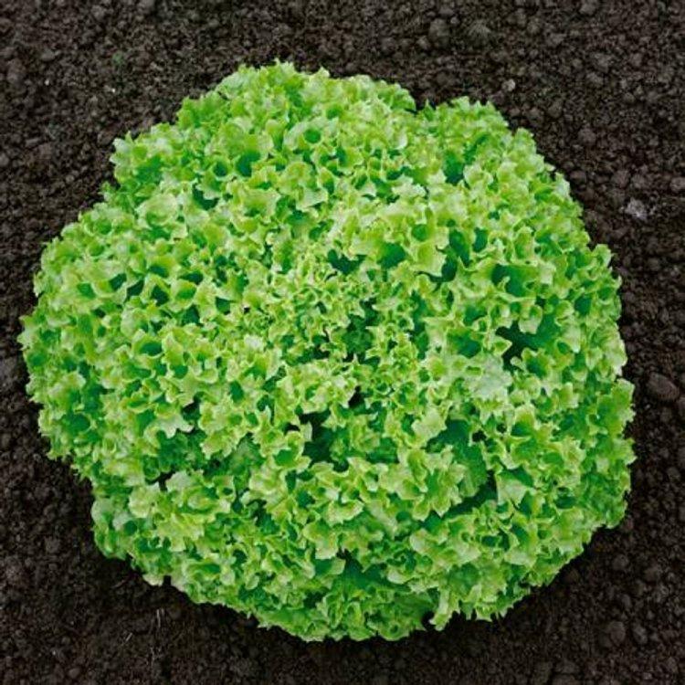 Салат листовой зеленый Грин корал,  Legutko, Польша