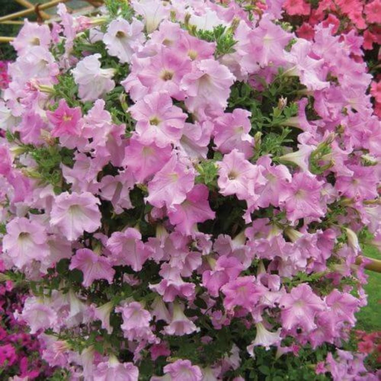 Петуния Даймонд Перли, семена цветов, Cerny, Чехия