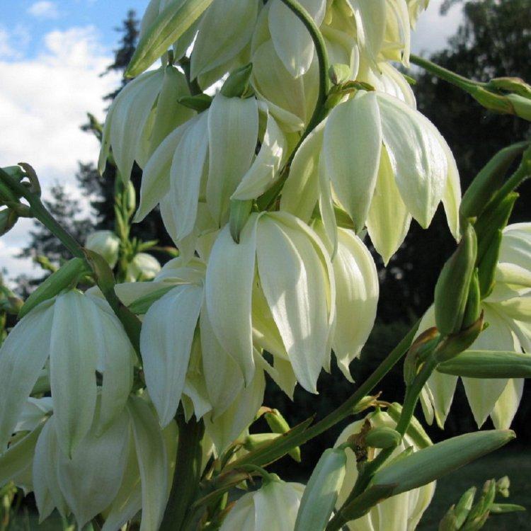 Юкка, семена цветов, Legutko, Польша.