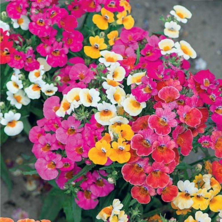 Немезия Галакси, смесь, семена цветов, Legutko, Польша.