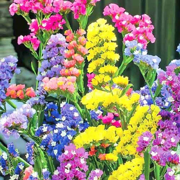 Кермек смесь, семена цветов, Legutko, Польша