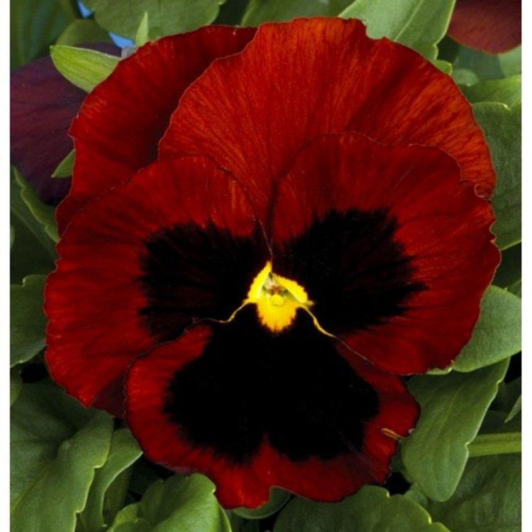 Виола Динамит красная с глазками, семена цветов, Legutko, Польша