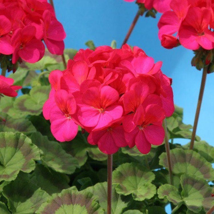 Пеларгония зональная Ева F1 красно-фиолетовая, семена, 5 штук, Cerny, Чехия