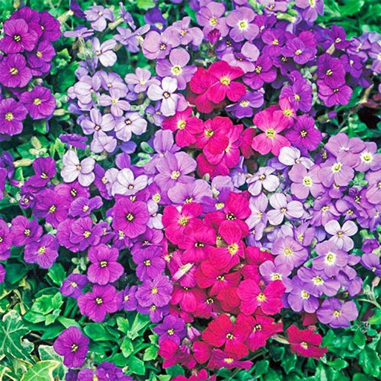 Обриета гибридная, смесь, семена цветов, Legutko, Польша.