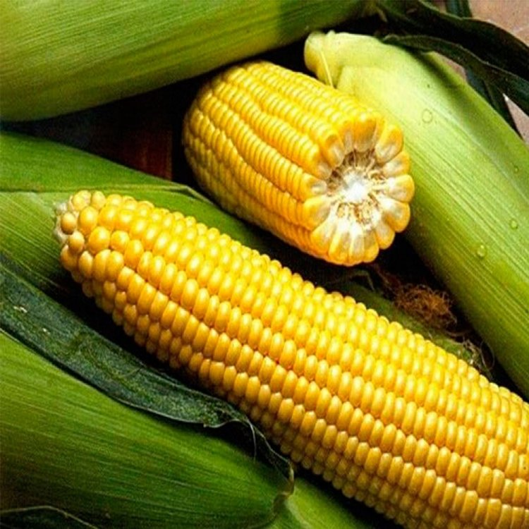 Кукуруза сахарная, сорт Спирит F1, Syngenta, Голландия.