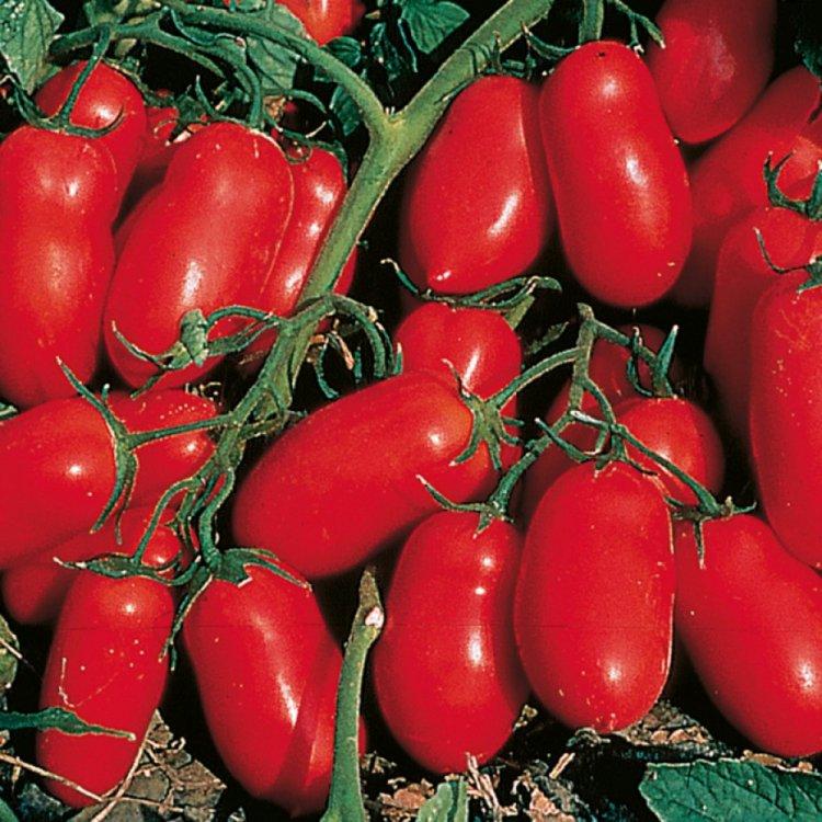 Томат Инкас, ранний, семена, 100 штук, Nunhems, Голландия