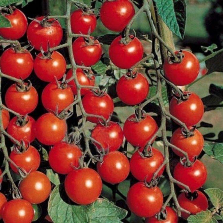 Томат Сомма, черри, сверхранний, семена, 10 штук, Nunhems, Голландия
