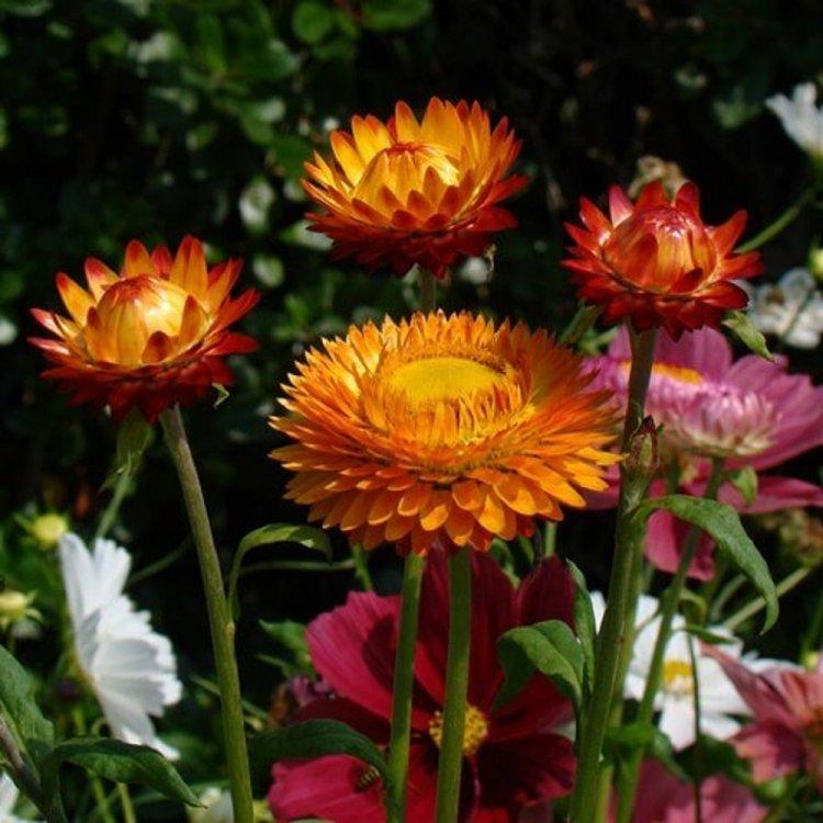 Бессмертник цвет меди, семена цветов, Legutko, Польша