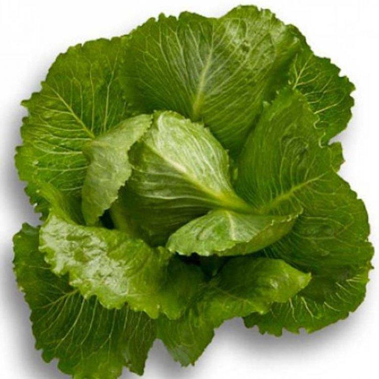 Салат листовой зеленый Крунчита, Rijk Zwaan, Голландия