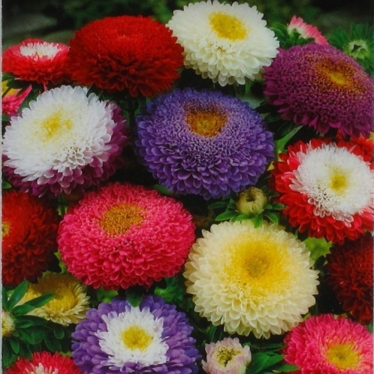Астра Супреме, семена цветов, Legutko, Польша.