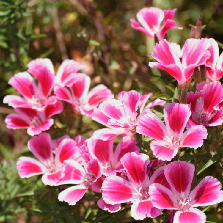 Кларкия Грейс белая с розовым, семена цветов, Legutko, Польша