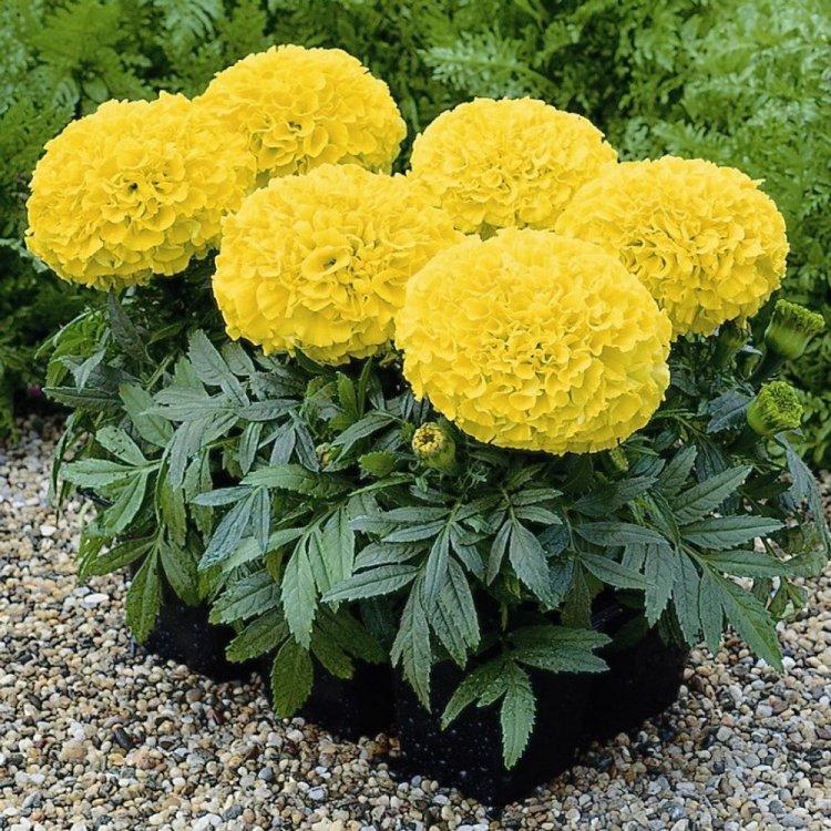 Бархатцы Дискавери желтые, семена цветов, Legutko, Польша
