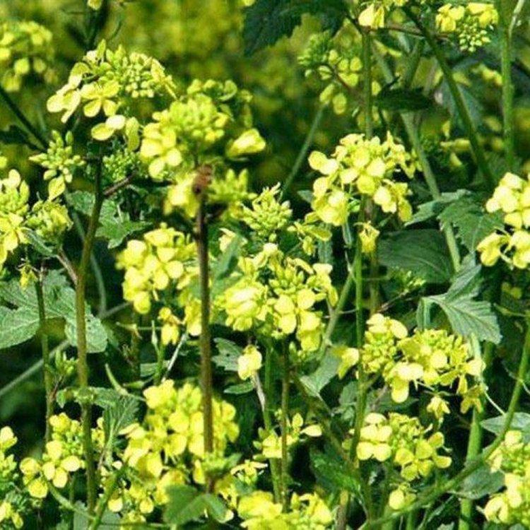 Редька масличная, семена, Украина