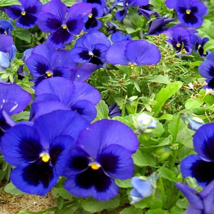 Виола Динамит синяя с глазками, семена цветов, Legutko, Польша