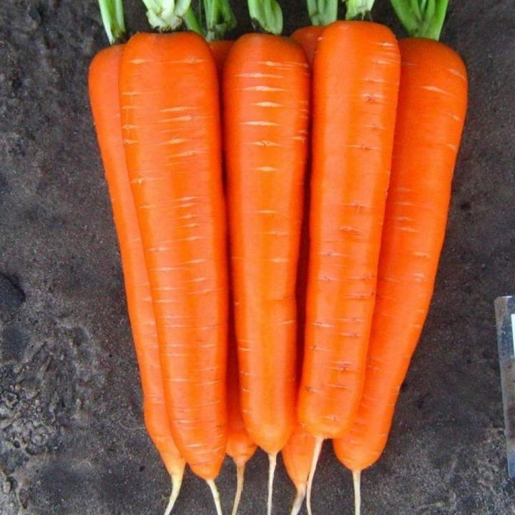 Морковь тип Нанте, Лагуна F1, Nunhems, Голландия