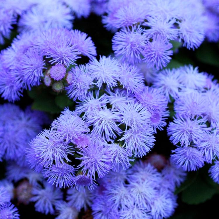 Агератум Леда, семена цветов, Legutko, Польша