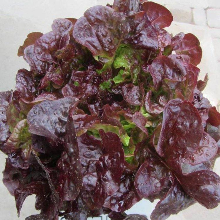 Салат листовой красный  Кармеси, Rijk Zwaan, Голландия