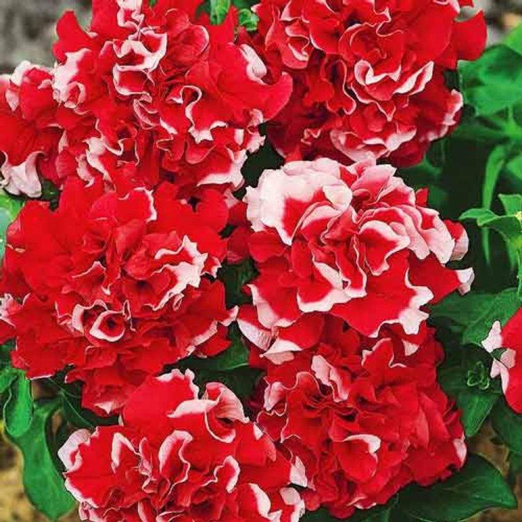 Петуния Пируэт красная, семена цветов, Cerny, Чехия