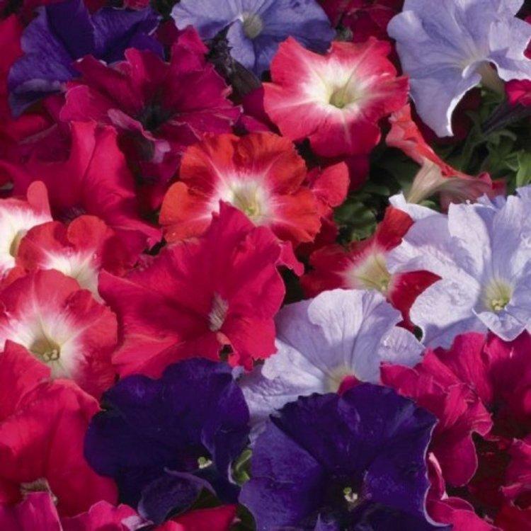 Петуния Фалкон смесь, семена цветов, Legutko, Польша.