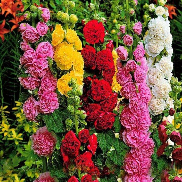 Мальва Шатер смесь, семена цветов, Legutko, Польша.