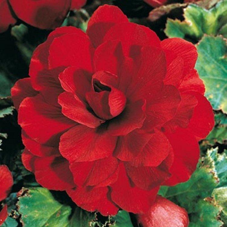 Бегония Фортуна темно-красная, семена цветов, Legutko, Польша