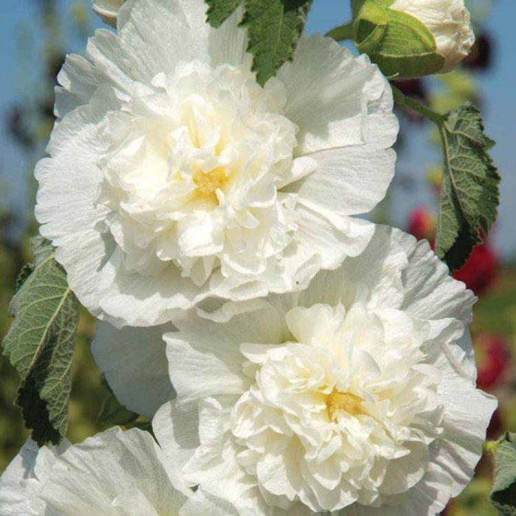 Мальва Шатер белая, семена цветов, Legutko, Польша.