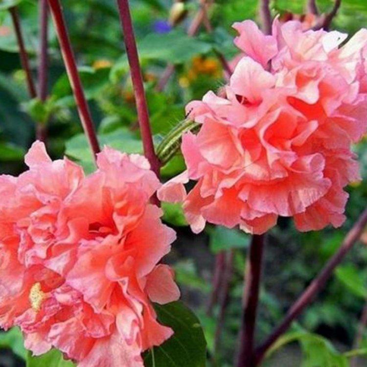 Кларкия Грейс лососевая, семена цветов, Legutko, Польша