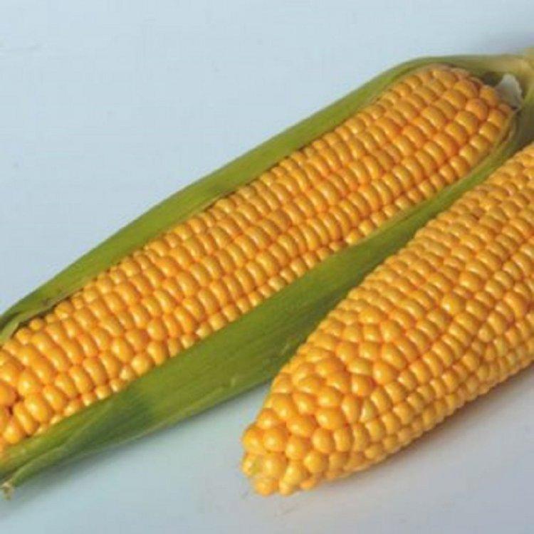Кукуруза, сорт Тусон F1, Syngenta, Голландия.