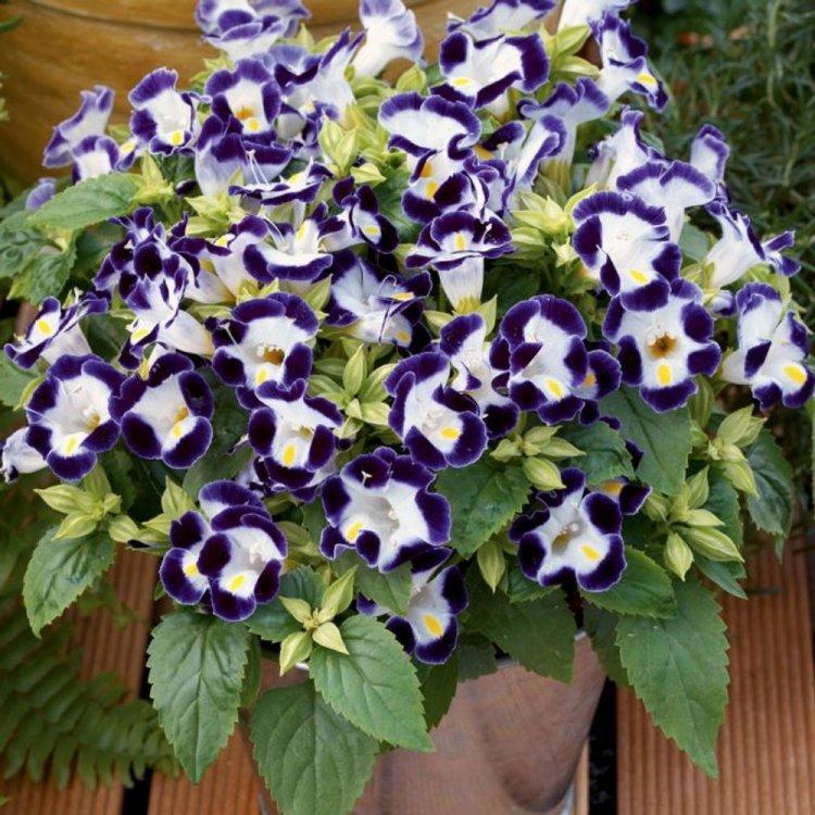 Торения «Нежный поцелуй» синяя с белым, семена цветов, Legutko, Польша