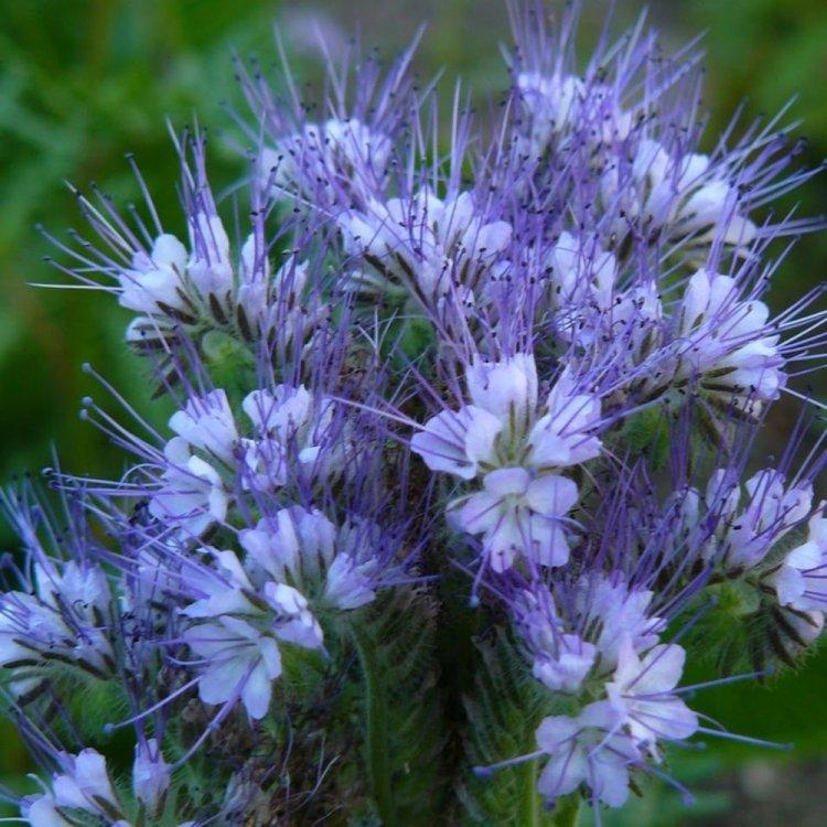 Фацелия, семена цветов , Украина