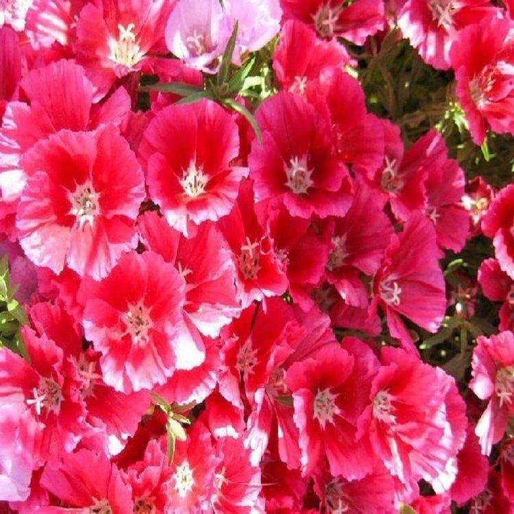Кларкия Грейс красная, семена цветов, Legutko, Польша