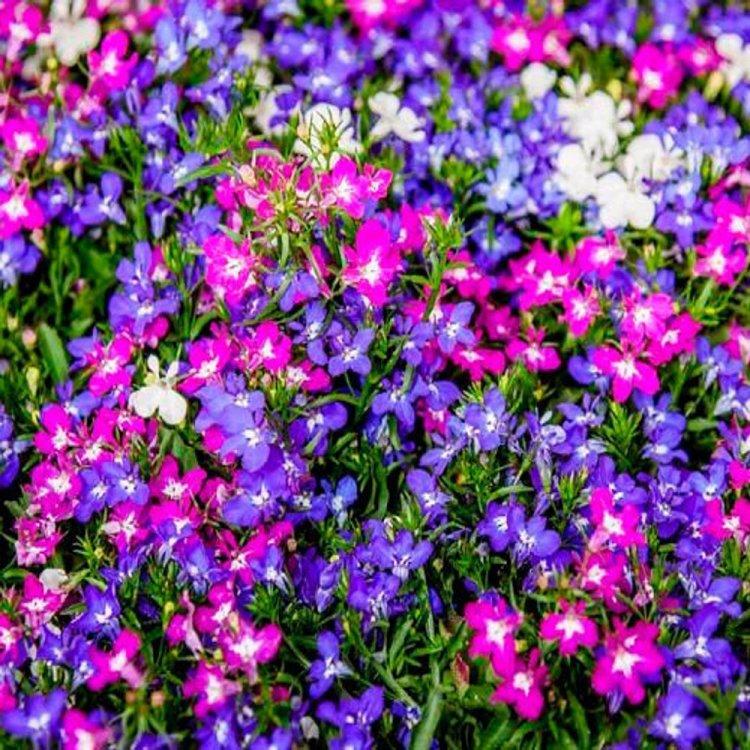 Лобелия ампельная Каскад, смесь, семена цветов, Legutko, Польша.