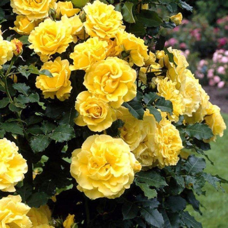 "Роза плетистая сорт ""Казино"" желтый"