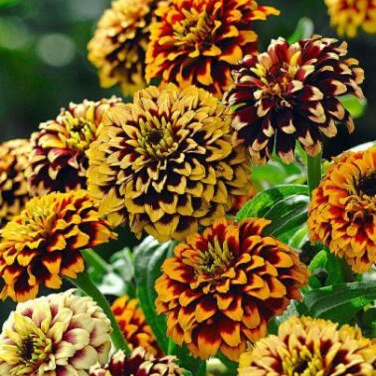 Цинния Древний Мехико, смесь, семена цветов, Legutko, Польша