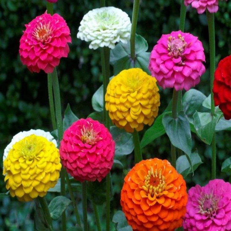 Цинния Солнечные ребята, смесь, семена цветов, Legutko, Польша