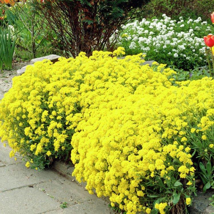 Алиссум Скальный, семейство Капустные, многолетний кустарник, семена цветов, Legutko, Польша