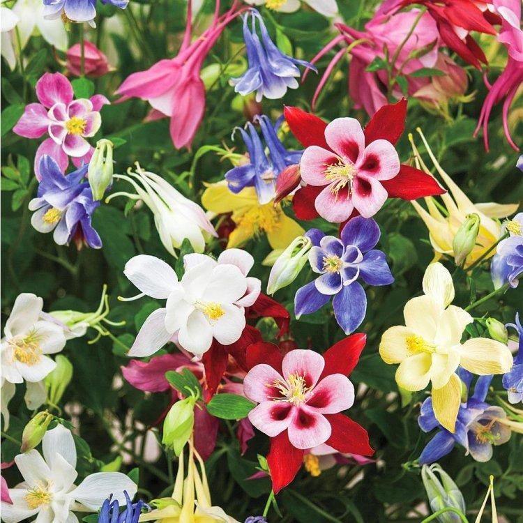 Аквилегия крупноцветковая, семена цветов, Legutko, Польша
