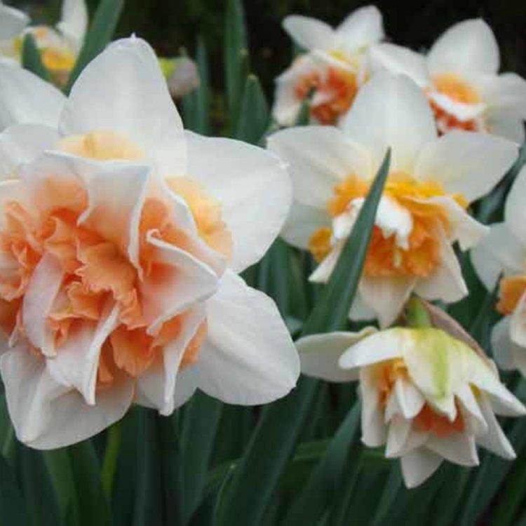 Нарцис полный Петит Фо, луковицы цветов, Legutko, Польша