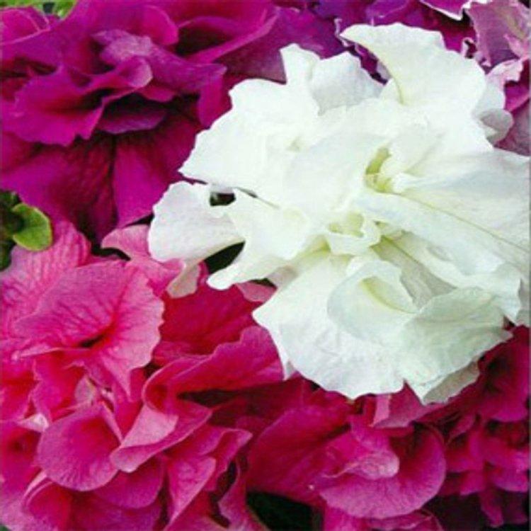 Петуния Акварель, семена цветов, Cerny, Чехия