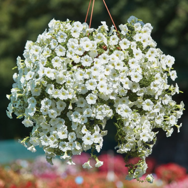 Петуния Уайт Вельвет, семена цветов, Legutko, Польша.