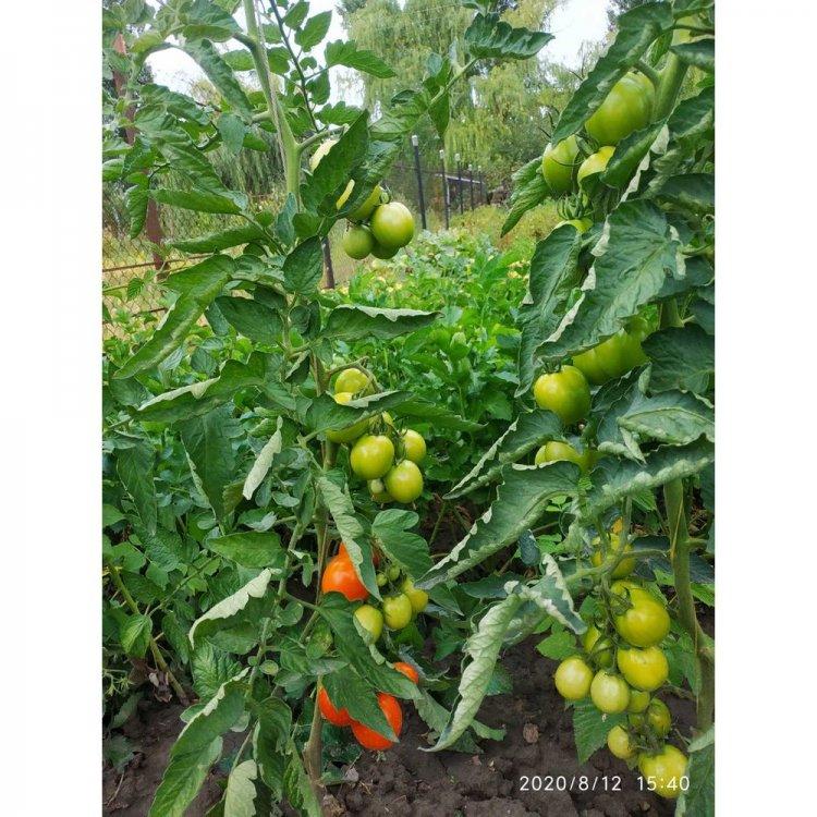 Томат Толстой, ранний, семена, 5 грамм, Bejo Zaden, Голландия