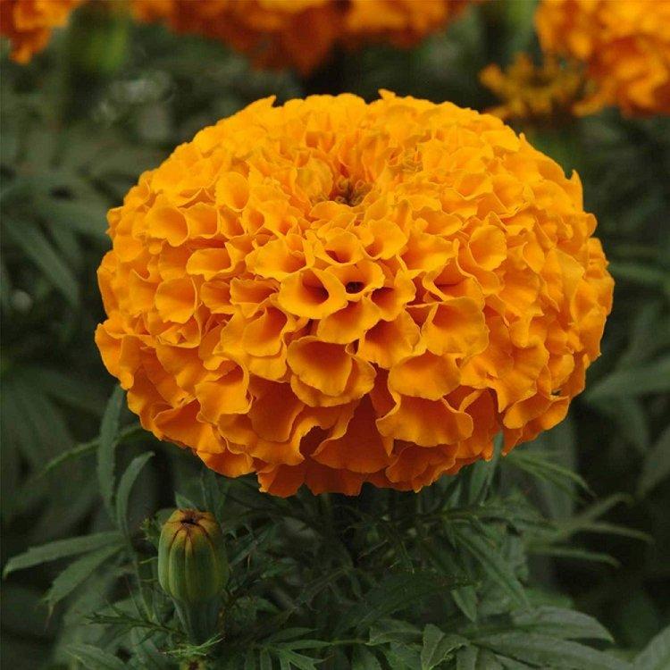 Бархатцы Дискавери оранжевые , семена цветов,  Cerny, Чехия