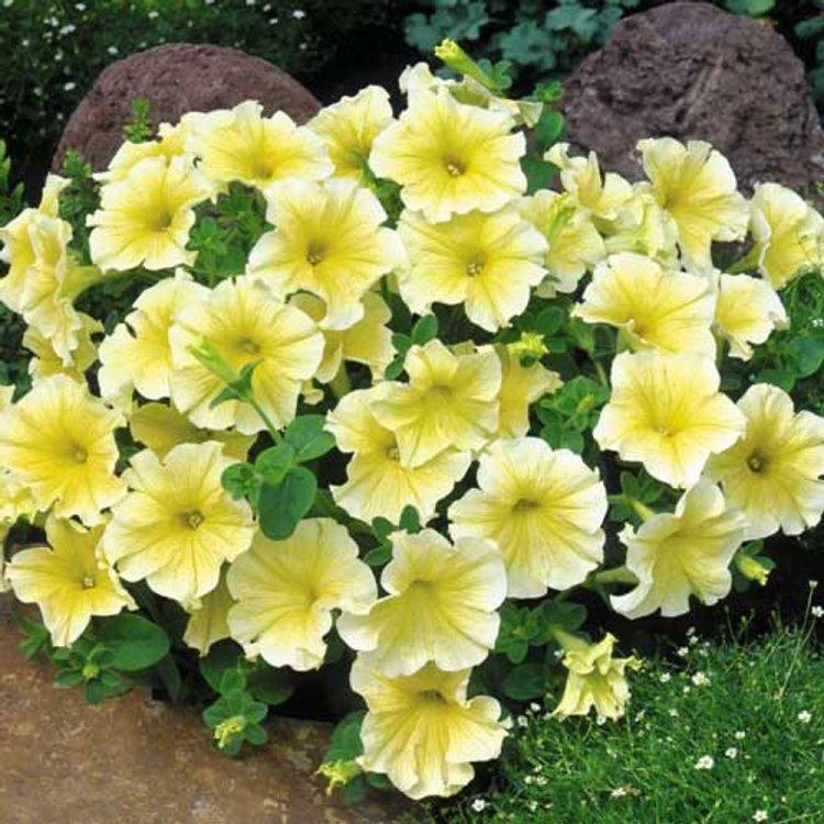 Петуния Лавина желтая звезда, семена цветов, Cerny, Чехия