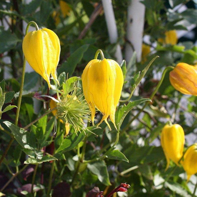 Клематис тангутский желтый, семена цветов, Legutko, Польша